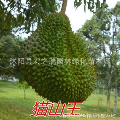 猫山王榴莲树苗 猫山王金枕头榴莲苗 南北方种植 盆栽当年结果